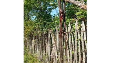Photo of ჩოხატაურში ორმეტრიანი გველი მოკლეს – გურიის მოსახლეობა გველების შემოსევას უჩივის