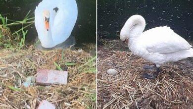 Photo of ბავშვებმა გედს კვერცხები დაუმტვრიეს, რის შემდეგაც დედა-გედს გული გაუსკდა, ხოლო მამა-გედი უგზოუკვლოდ გადაიკარგა