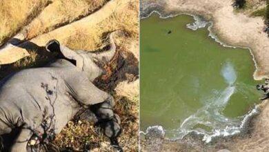 Photo of ვრცელდება თუ არა ახალი ვირუსი აფრიკაში? – სპეციალისტები 350-მდე სპილოს მასობრივი სიკვდილის მიზეზს იკვლევენ