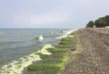 Photo of ფოთი-გრიგოლეთი-ურეკის ტერიტორიაზე უჩვეულოდ დიდი რაოდენობის წყალმცენარეები დაფიქსირდა