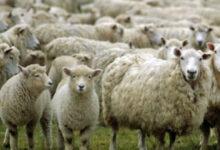 """Photo of გაზრდილმა ექსპორტმა ცხვარი 50-100 ლარით გააძვირა – """"მეცხვარეთა ასოციაცია"""""""